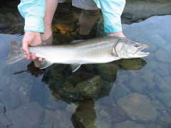 Quartz Lake Bull Trout collected for genetic testing